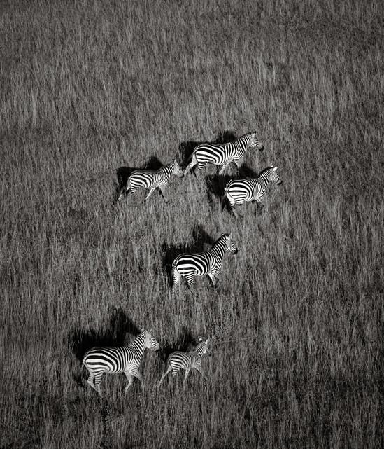 Zebras on the Serengeti Plain.jpg