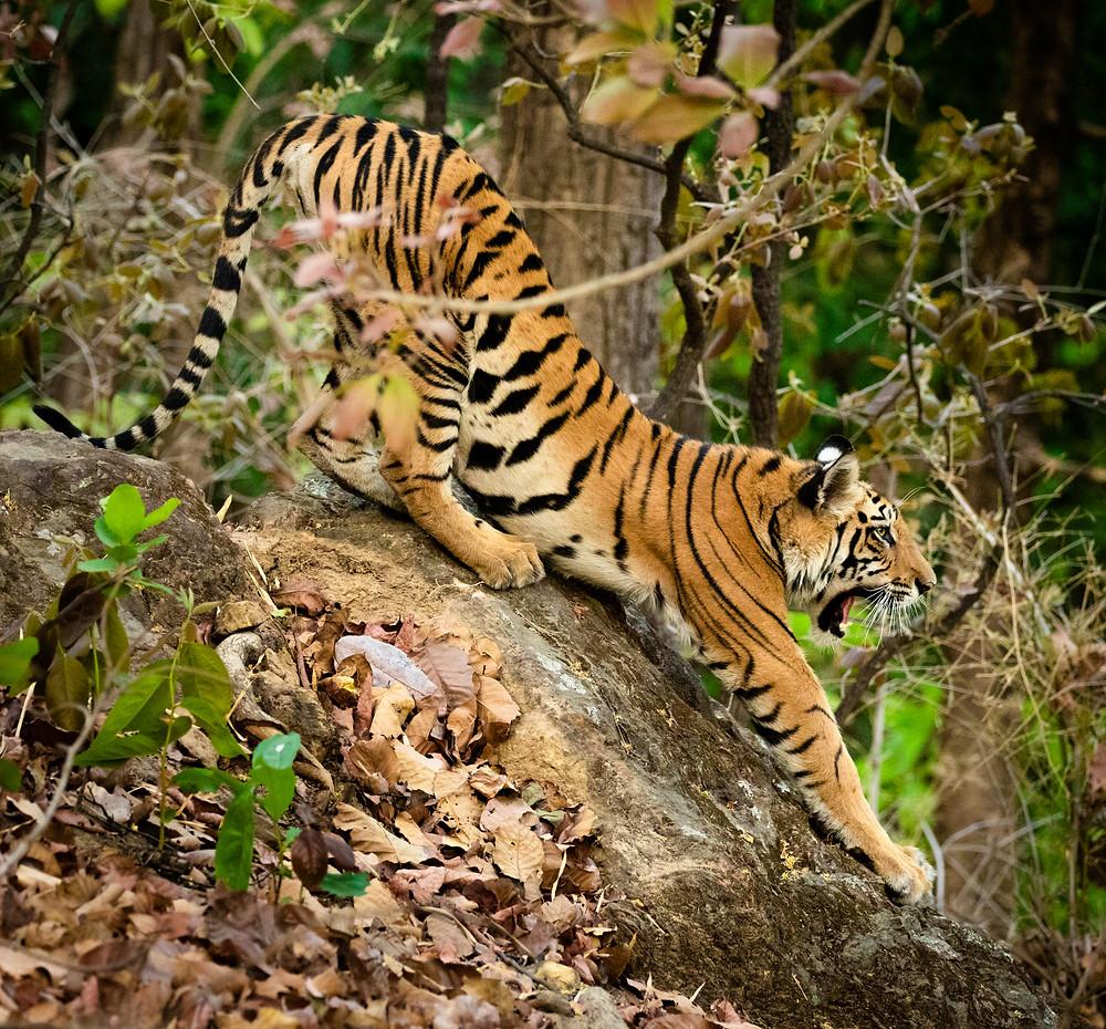 stretching bengal tiger