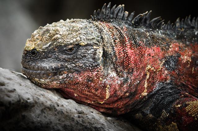 Lava Lizard.jpg