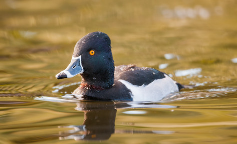 Ring-necked Duck.jpg