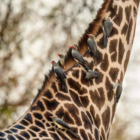 Oxpeckers.jpg