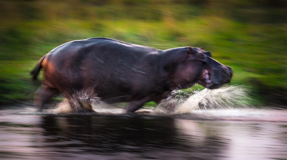 Hippo On The Run.jpg