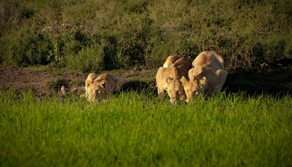 Lions Drinking.jpg