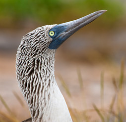 Blue Footed Booby Portrait.jpg
