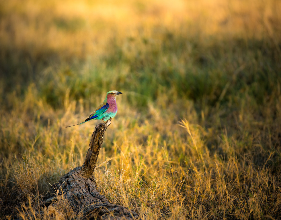Perched Lilac Breasted Roller.jpg