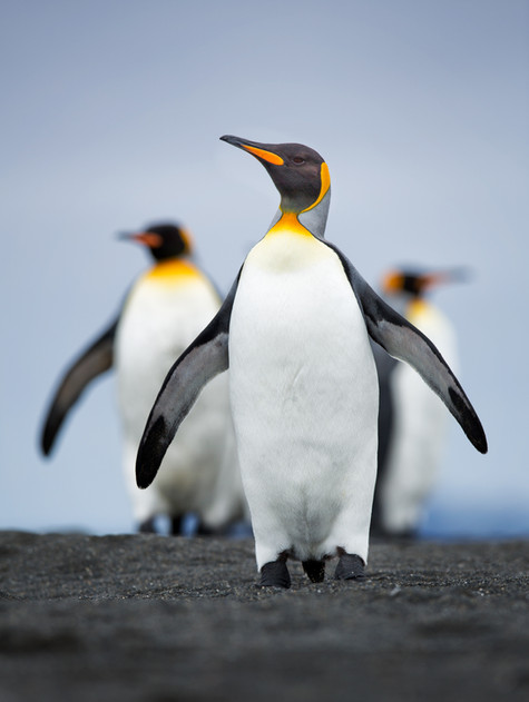 Penguin Posse.jpg