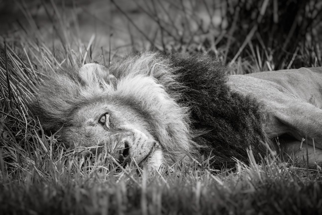 Resting King.jpg