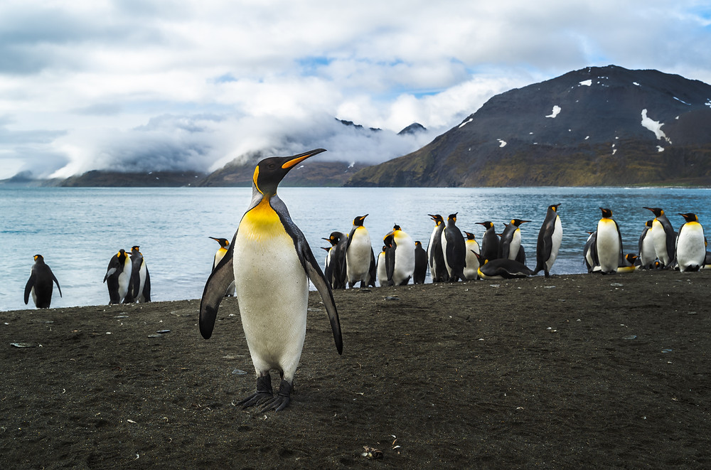 a lone king penguin poses on a beach