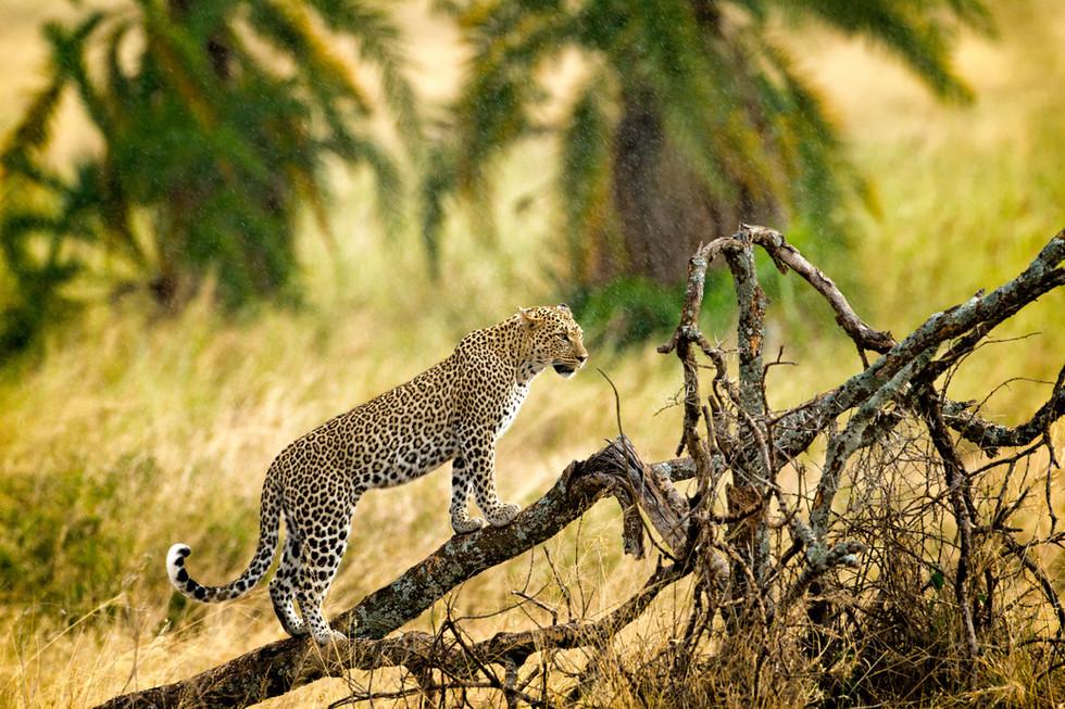 Leopardess in the Rain.jpg