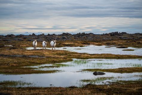 Three Reindeer.jpg