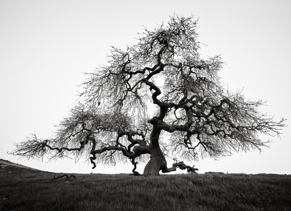 Gnarled Oak.jpg