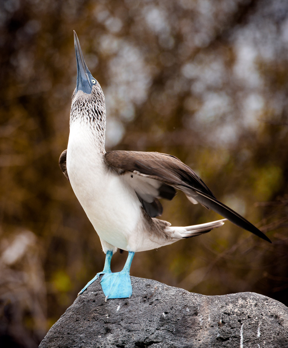 Blue Footed Booby-3.jpg