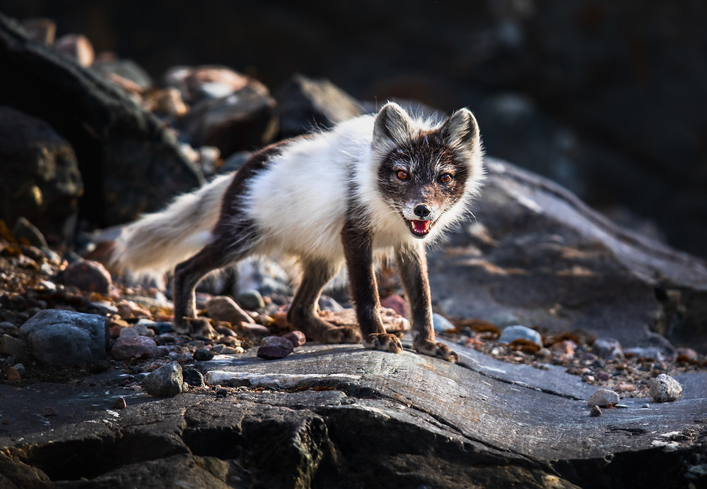 An arctic fox poses