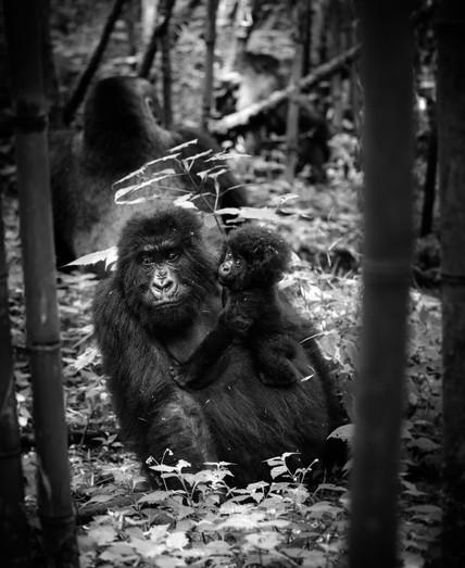 Gorilla Family.jpg