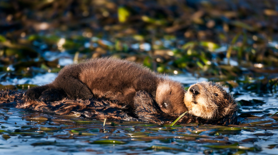 Otter Pup and Mom.jpg