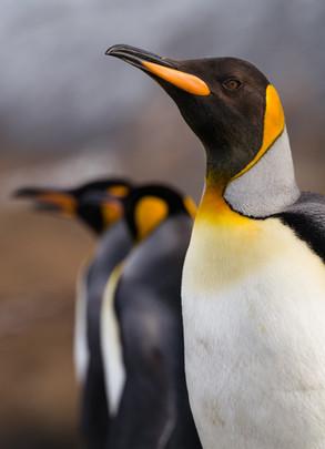 King Penguins.jpg