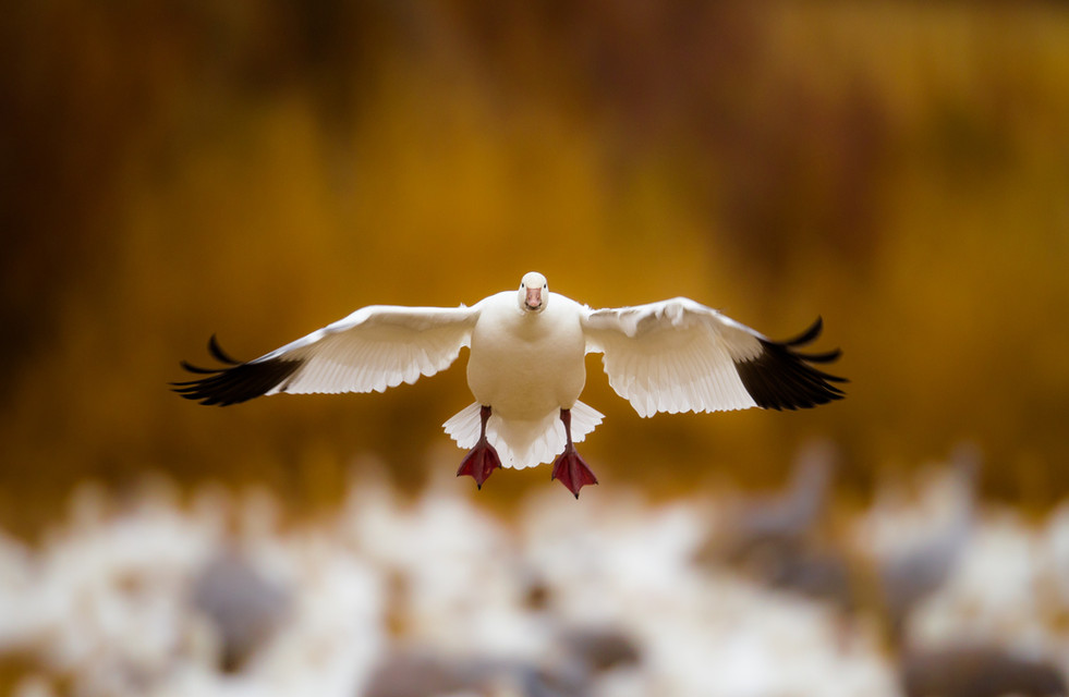 Snow Goose Approach.jpg