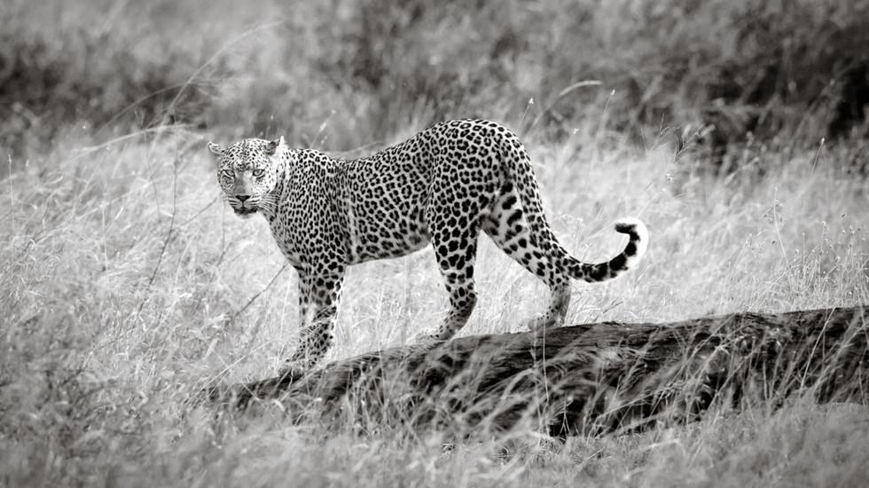 The Leopardess-2.jpg