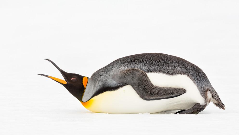 King Penguin-2.jpg