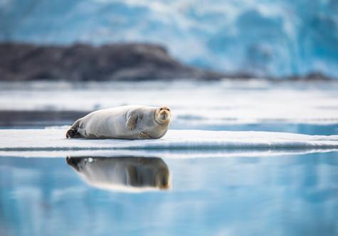 Posing Bearded Seal.jpg