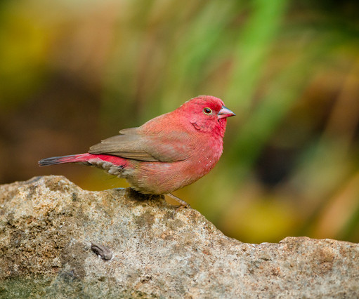 Red-billed Firefinch.jpg