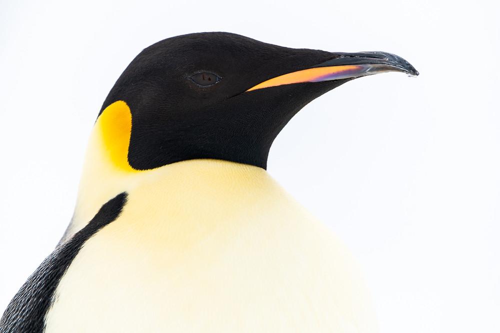 emperor penguin portrait