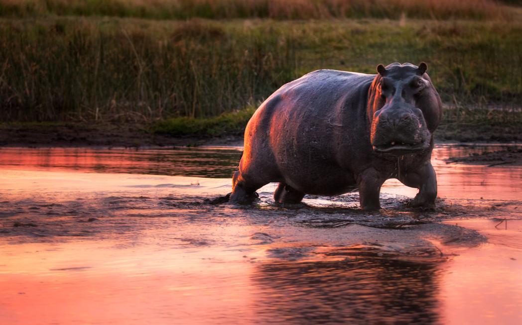 Hippo in Twilight.jpg