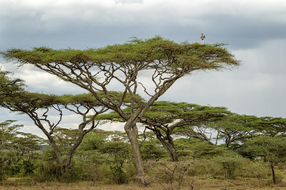 Stork in Acacia.jpg