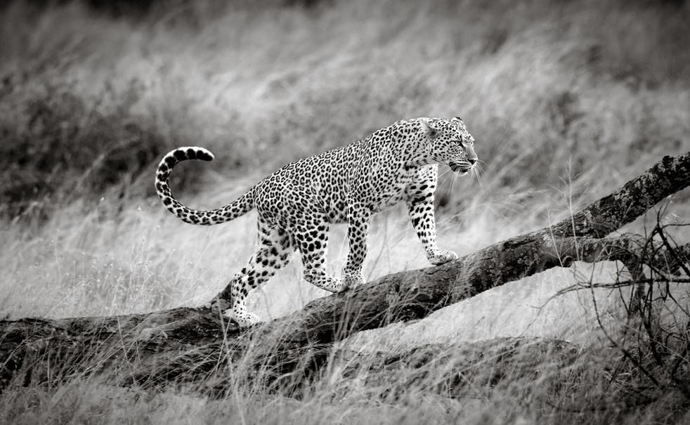 The Leopardess.jpg