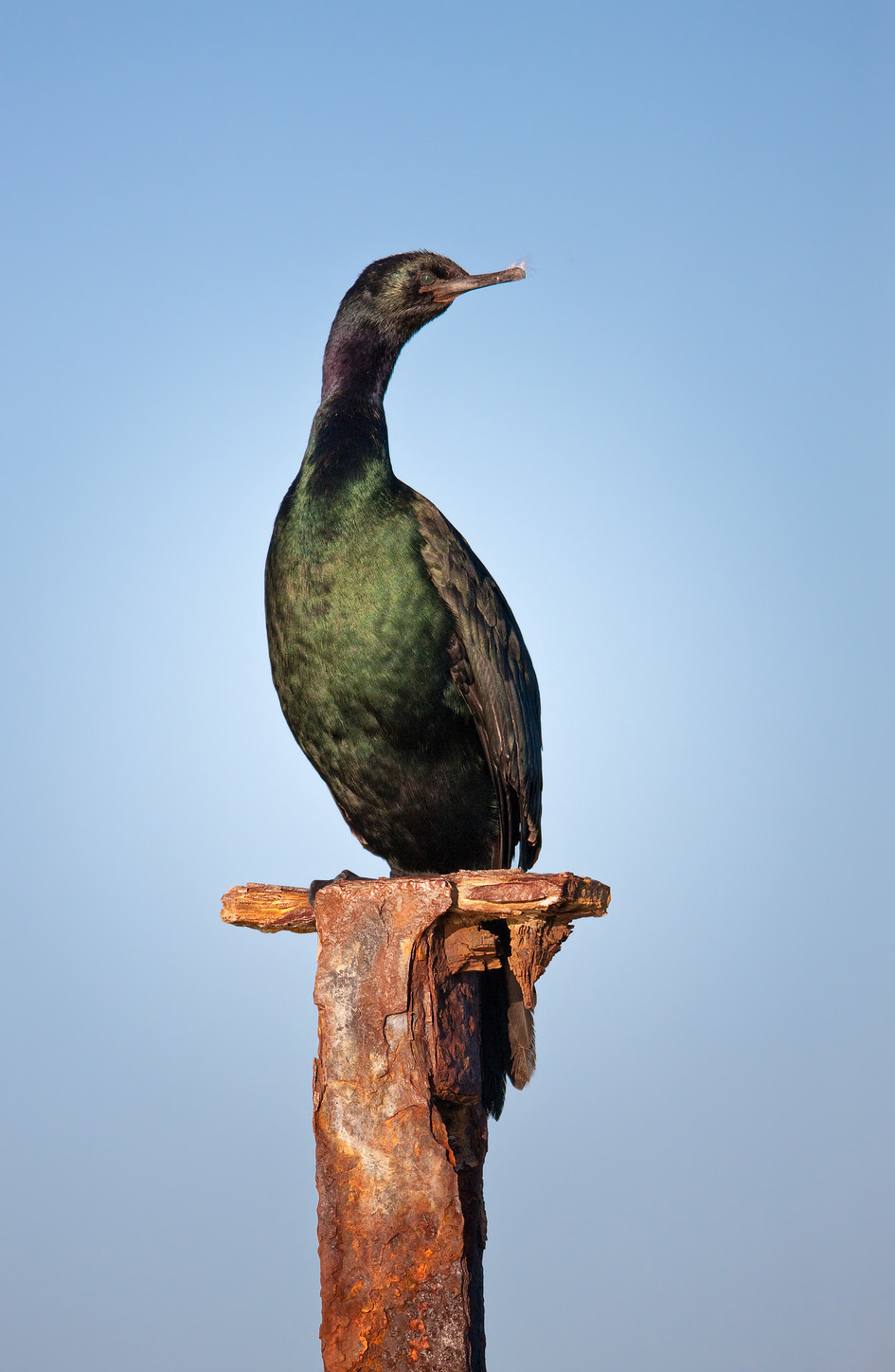 Pelagic Cormorant at Elkhorn Slough.jpg