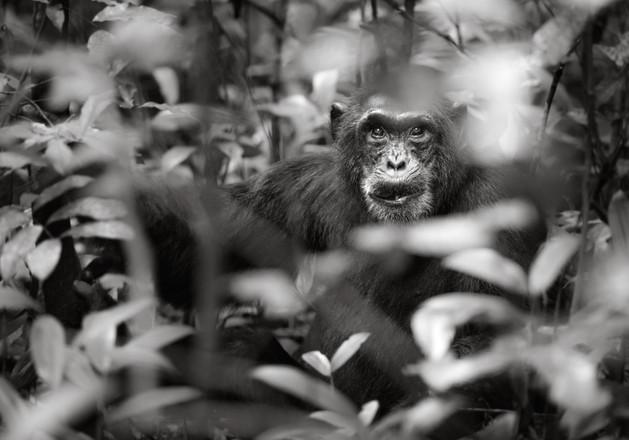 Hidden Chimpanzee.jpg