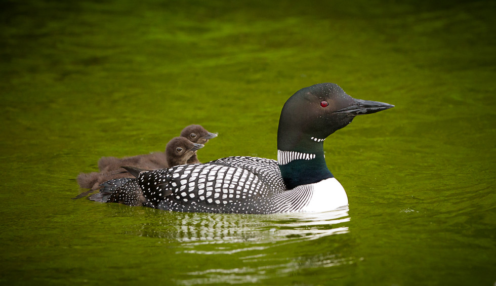 Common Loon and Chicks.jpg