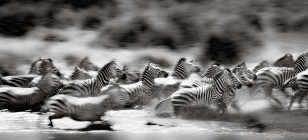 Zebra Stampede.jpg