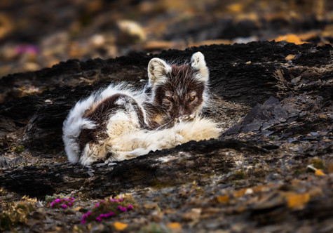 Watchful Arctic Fox.jpg