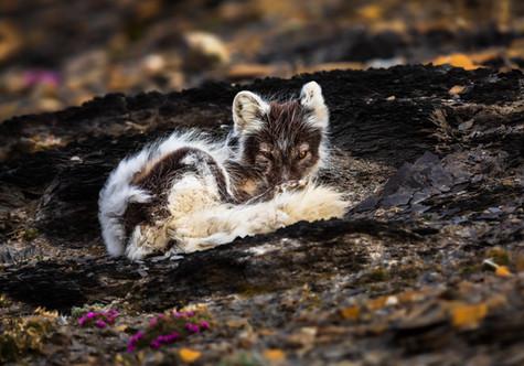 Watchful Arctic Fox.jpg