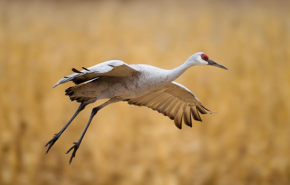Sandhill Crane Gliding.jpg