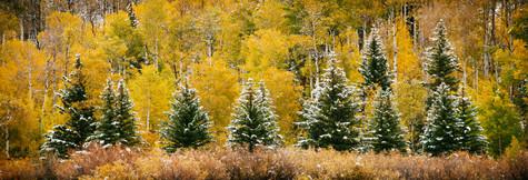 Evergreens and Aspens.jpg