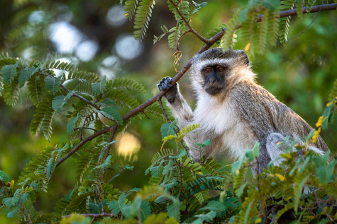 Vervet Monkey • South Luangwa.jpg