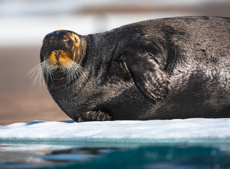 Resting Bearded Seal.jpg