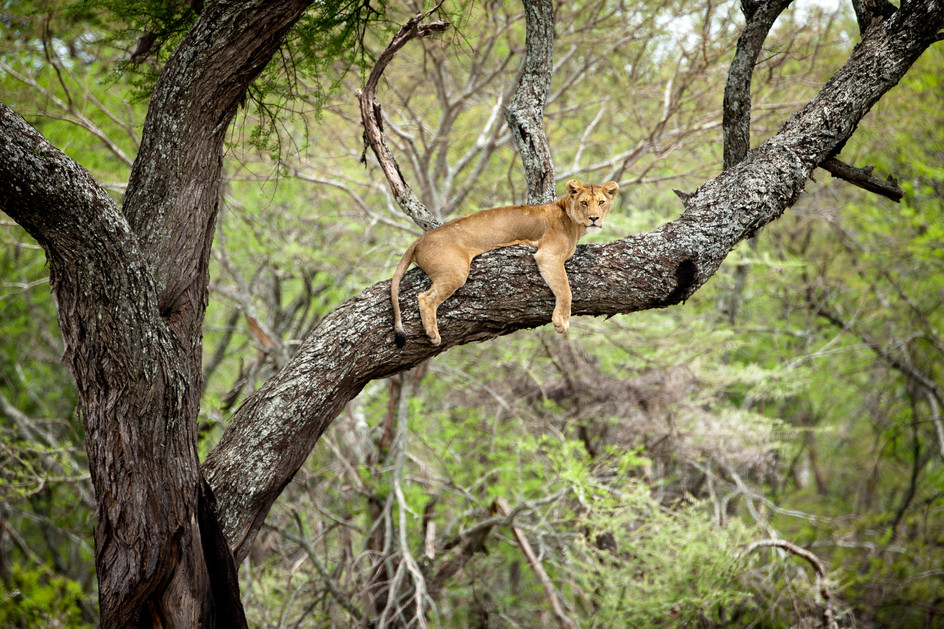 Lioness in Tree - Serengeti National Park.jpg