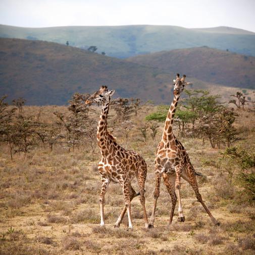 Giraffe Dance.jpg