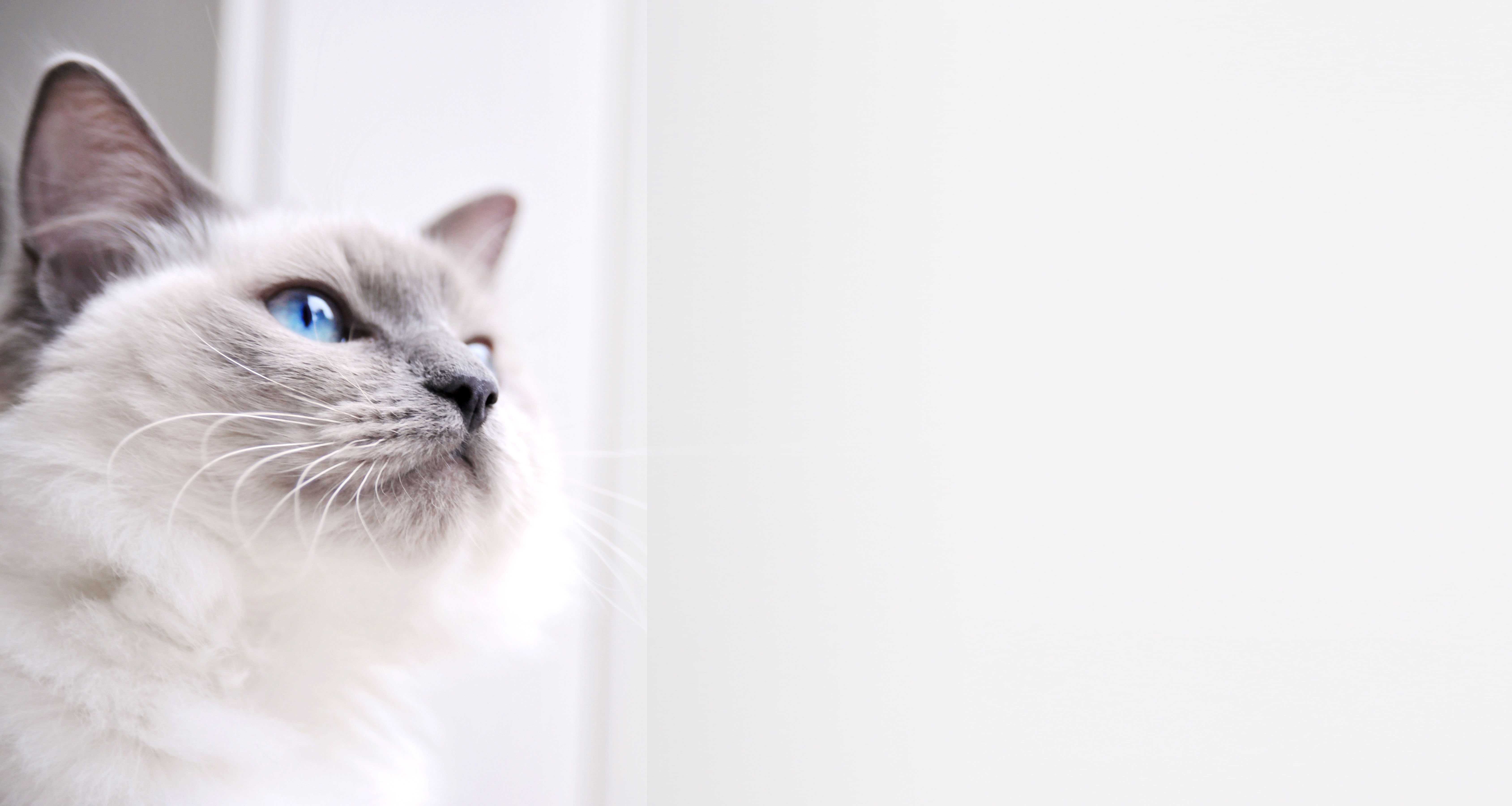 Ragdoll Cat soccorso veterinario cat