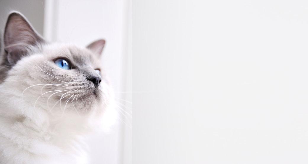 gato de Ragdoll