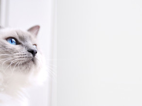 Kastration und Sterilisation bei Katzen