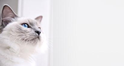 Ragdoll Katze
