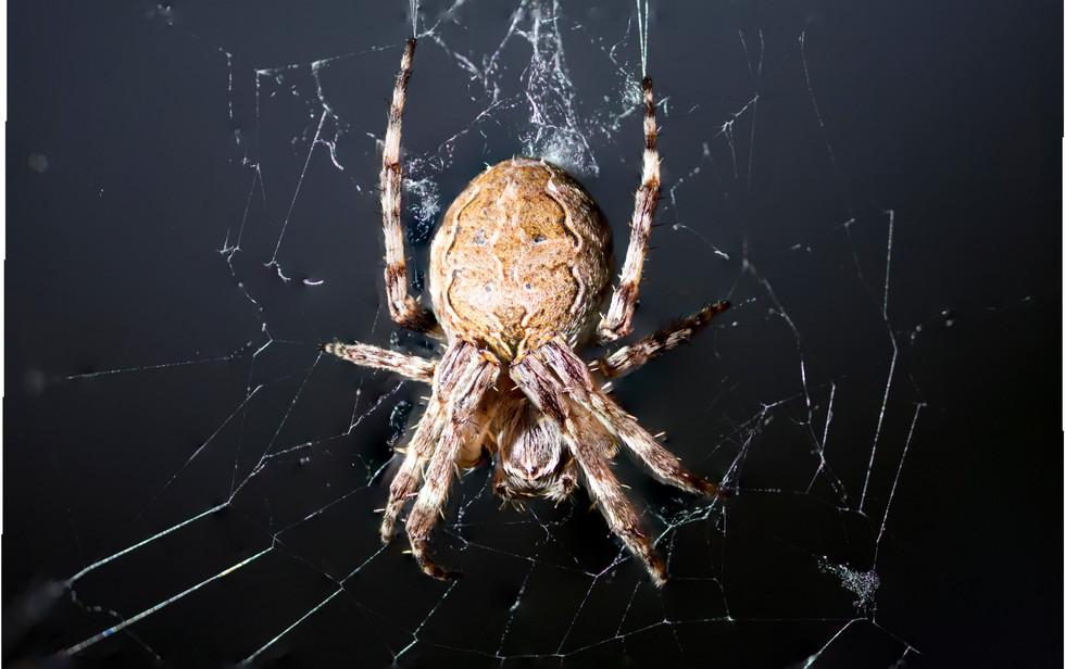 Focus-stacking einer winzigen Spinne