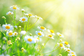 Chamomile field flowers border. Beautifu
