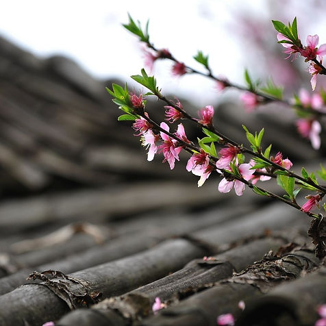 Peach Blossom.jpg