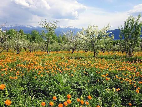 גלי חום,  שרפות ופריחה מוקדמת,  סיביר חווה את השנה החמה בתולדותיה