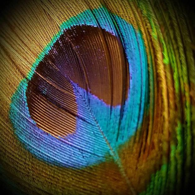 peacock indian blue (5).jpg